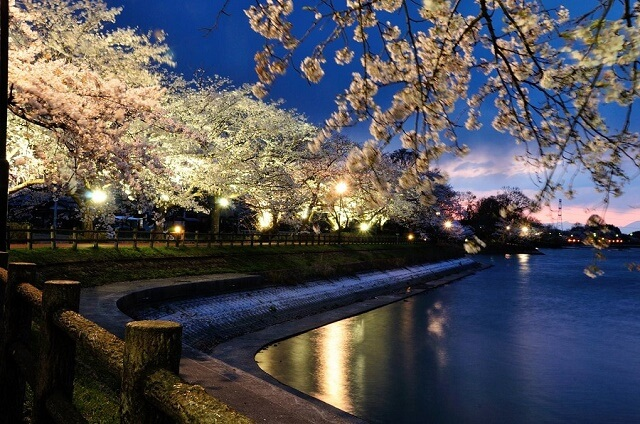 茨城 桜 名所 砂沼の夜桜