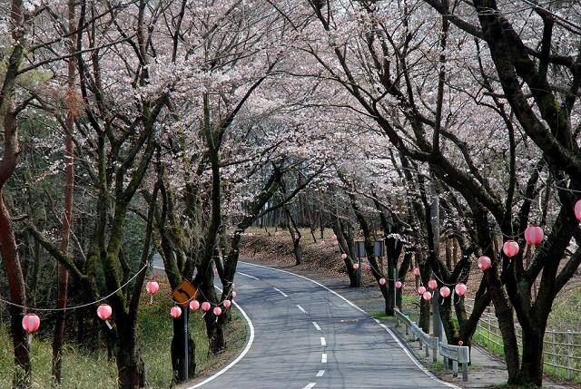 北山公園キャンプ場 桜