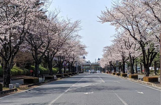 茨城 桜 開花状況 茨城県庁