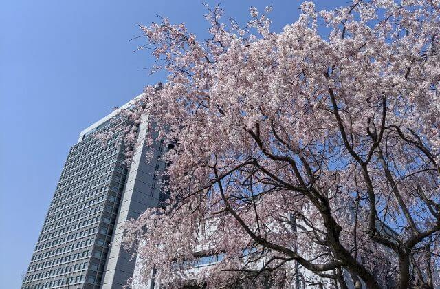 茨城県庁 桜 開花状況