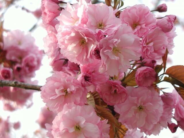 静峰ふるさと公園 八重桜まつり