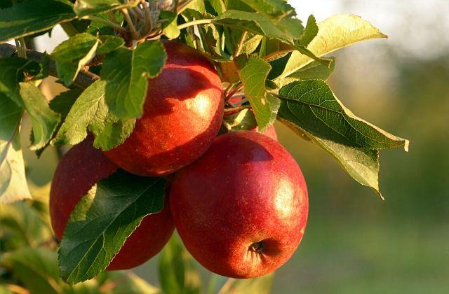大子 観光 奥久慈りんご りんご狩り
