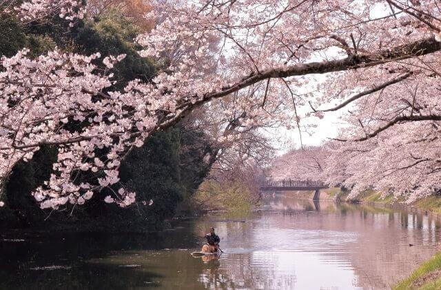 茨城県 南部 つくばみらい市 観光 観光 福岡堰の桜