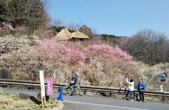 茨城県 つくば市 観光 筑波山梅まつり