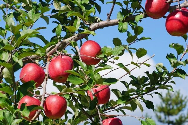 大子町 奥久慈りんご りんご園