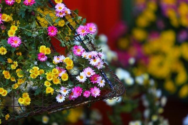 笠間の菊まつり 笠間稲荷神社