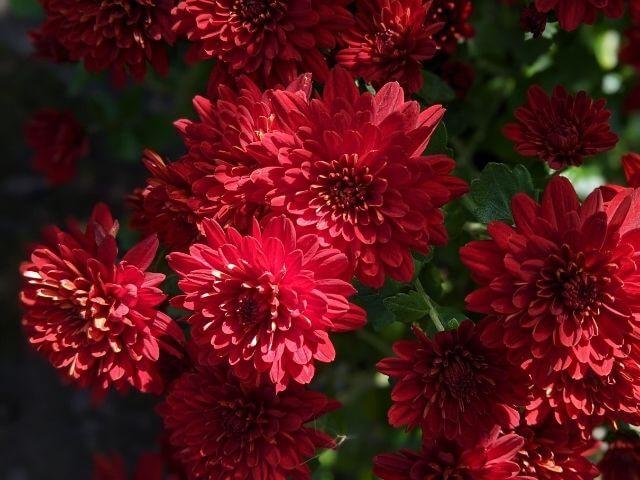 笠間の菊まつり 笠間稲荷神社 赤い菊の花