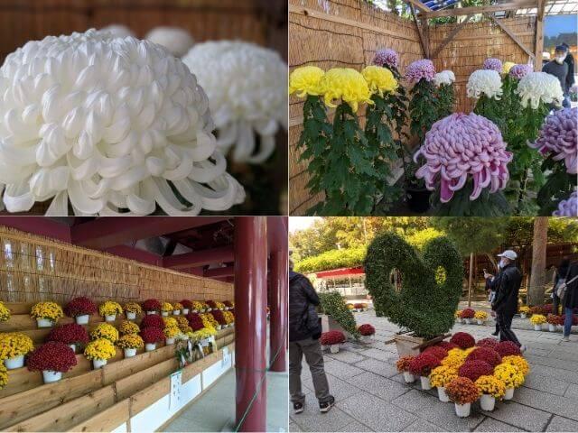 笠間の菊まつり 笠間稲荷神社 菊の品評会 作品