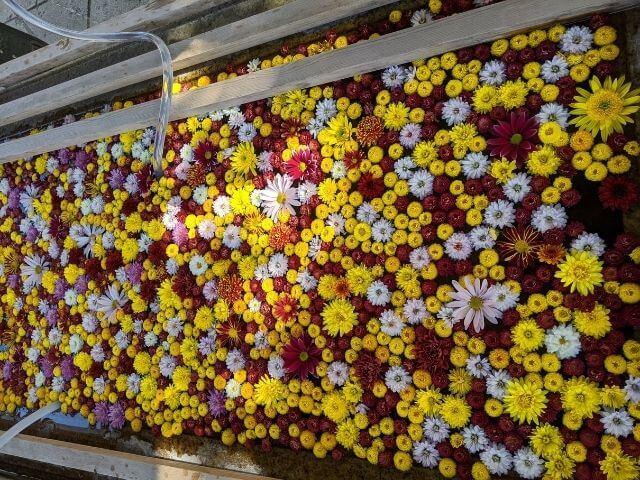 笠間稲荷神社 菊まつり 手水舎 菊の花