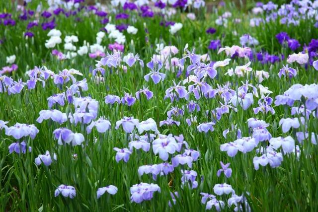 西山の里 桃源 花菖蒲園