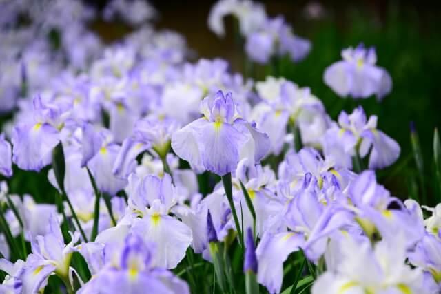 茨城 ひたちなか市 観光 馬渡はにわ公園 花しょうぶ園