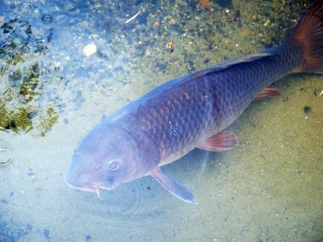 かすみがうら市水族館 展示 霞ヶ浦に生息する淡水魚