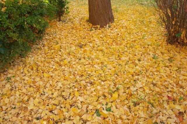 茨城県立歴史館 紅葉 イチョウ並木 見頃 黄色の絨毯