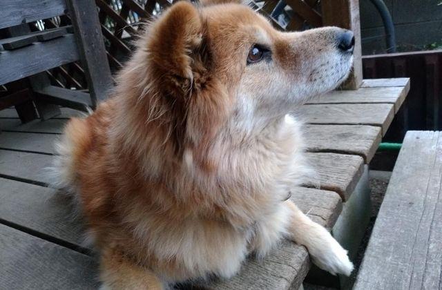 別雷皇太神 狛犬 看板犬 マルちゃんに激似のうちの犬