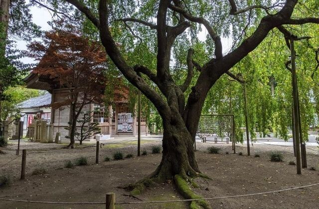 吉田神社 境内のシダレザクラ 桜の名所