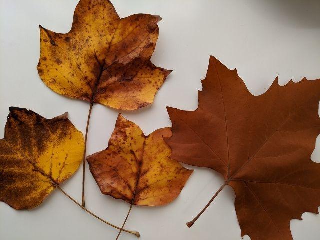 茨城県立歴史館 紅葉 いちょう カエデ