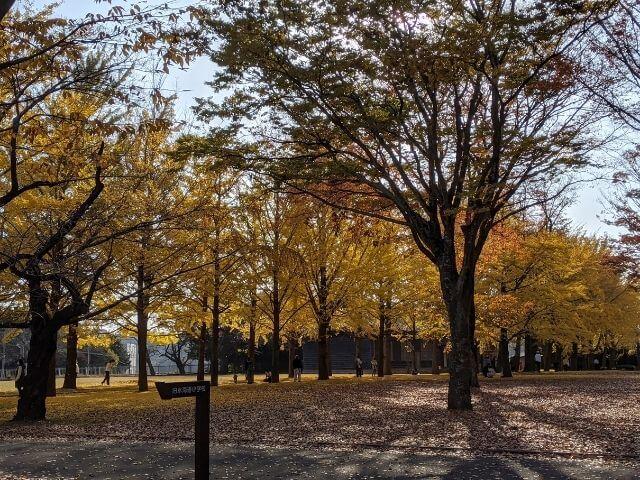 茨城県歴史館 イチョウ並木 紅葉 水戸市