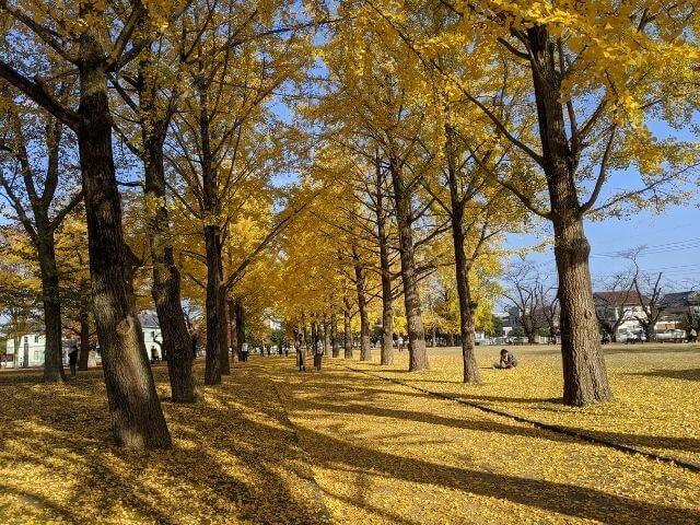茨城県立歴史館 いちょう イチョウ並木 水戸市