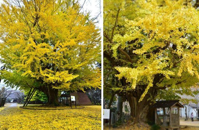 茨城 紅葉 行方市 西蓮寺 樹齢1000年の大イチョウ 天然記念物