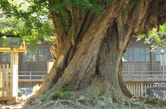 西蓮寺 行方市 樹齢1000年の大銀杏の幹