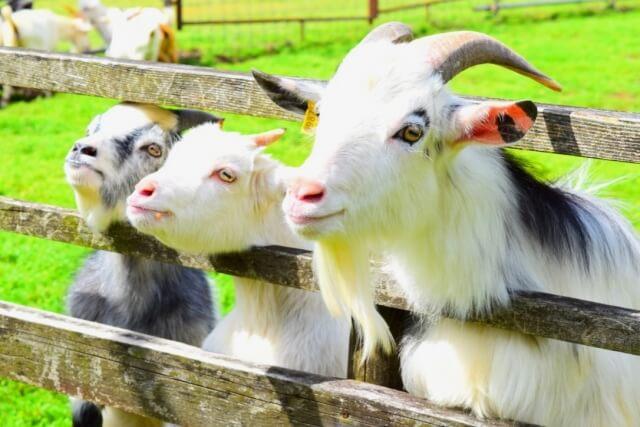 ダチョウ王国石岡ファーム 南のまきばのヤギたち
