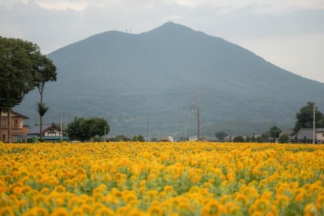 筑西 明野ひまわりフェスティバル 筑波山とヒマワリ