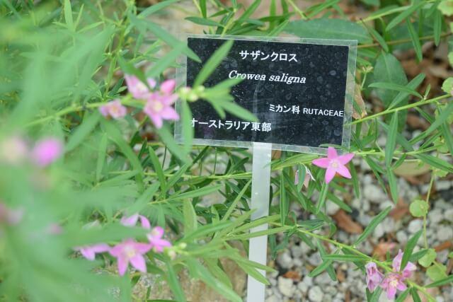 筑波実験植物園 オーストラリア サザンクロス