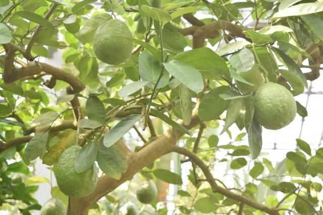 筑波実験植物園 温室 レモンの木