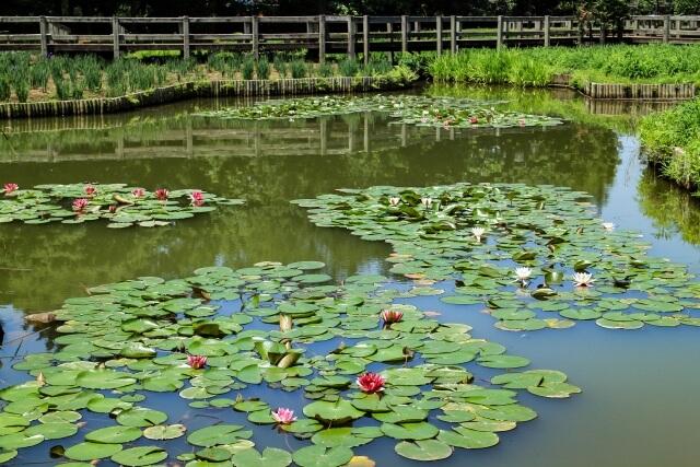 古河公方公園(古河総合公園) 大賀ハス 蓮池