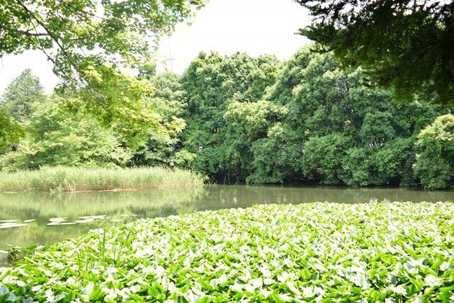 筑波実験植物園 池 湿地エリア 水生植物が見られる