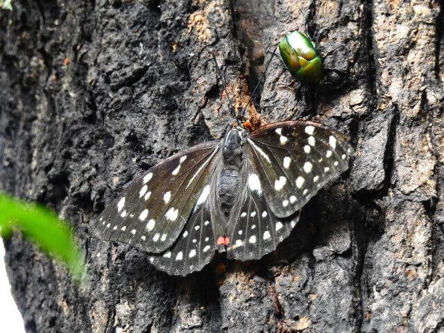 小貝川ふれあい公園 オオムラサキの森 国蝶