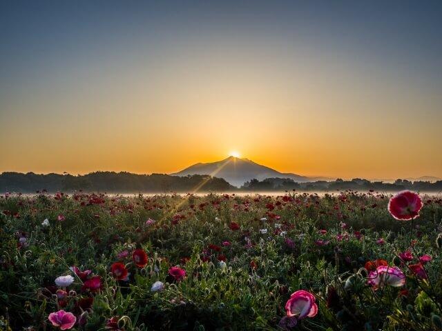 小貝川ふれあい公園 ポピー畑とダイヤモンド筑波山 5月