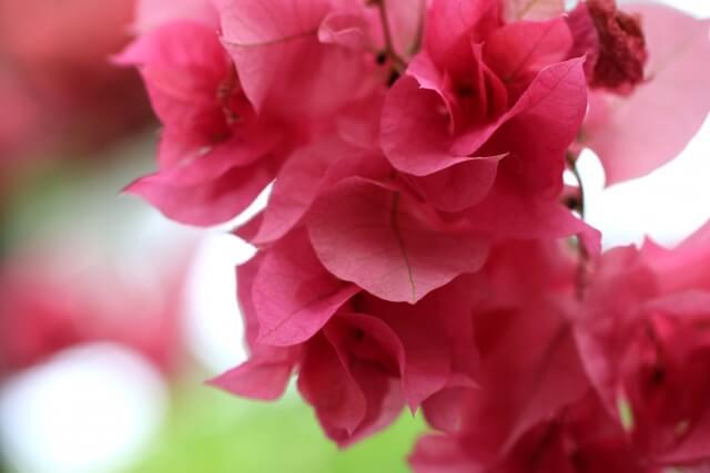 水戸市植物公園 花の回廊 ブーゲンビリア