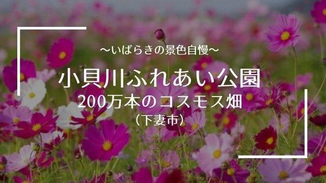 小貝川ふれあい公園 コスモス 開花状況
