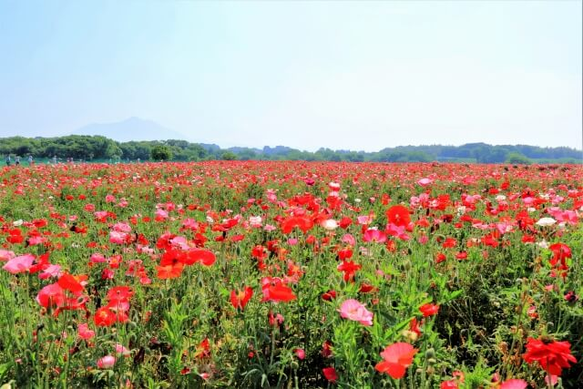 小貝川ふれあい公園 200万本のポピー お花畑 フラワーゾーン 下妻市