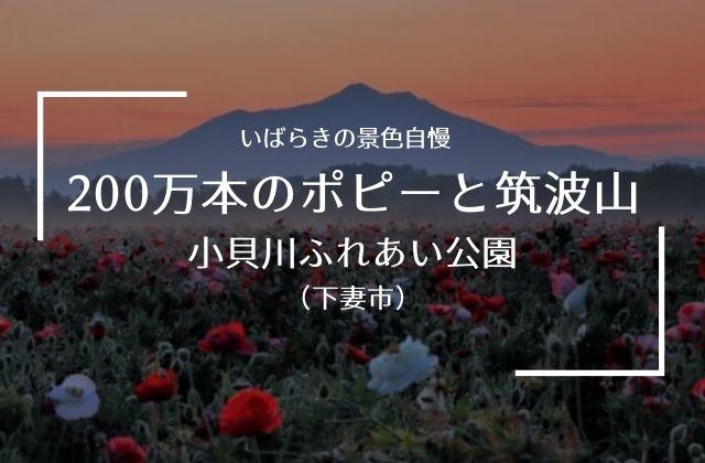 小貝川ふれあい公園 ポピー 開花状況 見頃 駐車場