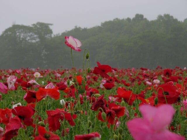 小貝川ふれあい公園 早朝のポピー畑