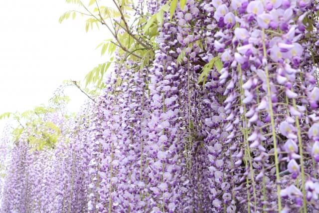 茨城県植物園 園内の花 5月 藤の花