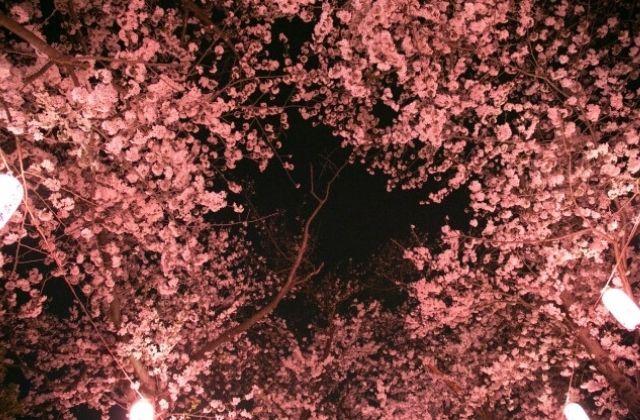 常陸風土記の丘の夜桜ライトアップ さくらまつり 茨城県石岡市