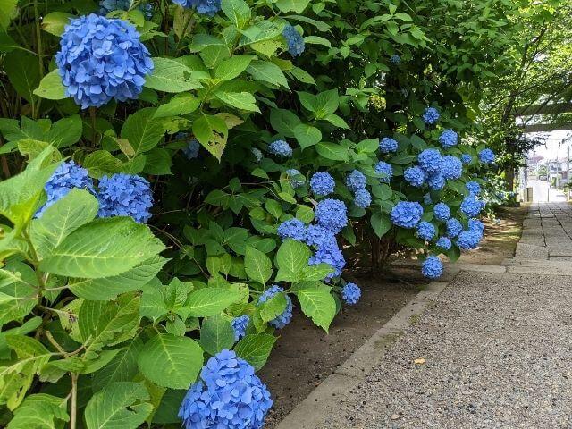水戸八幡宮 水戸のあじさいまつり 参道の紫陽花
